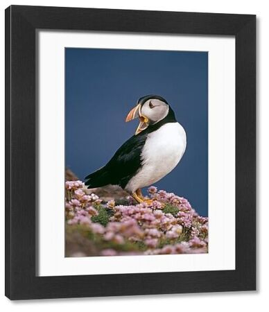 Puffin, Fratercula arctica, amongst thrift (sea pinks), Shetland, Scotland, June