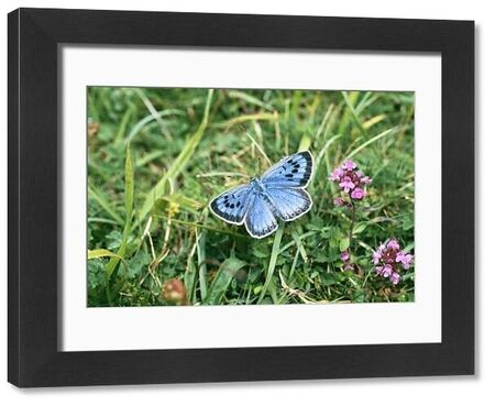 Large Blue Butterfly, female, part of re-introduced population, Somerset, UK, July