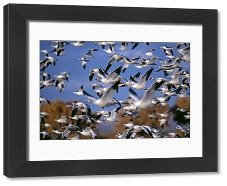 Snow (Anser caerulescens) and Ross's Geese, large flock, at Bosque Del Apache, New Mexico, USA, winter