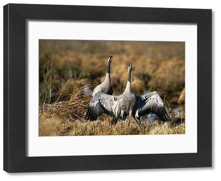 Common Cranes, Grus grus, in courtship prior to copulation, Hornsborga, Sweden, spring