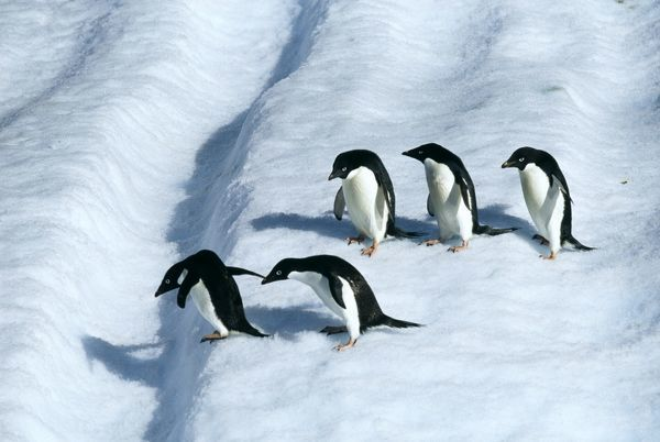 Adelie Penguin, Pygoscelis adeliae, adults on iceberg off Paulet Island, Weddell Sea, Antarctica