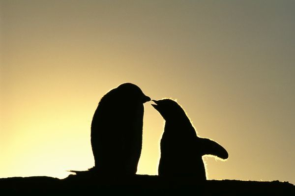 Adelie Penguin, Pygoscelis adeliae, chicks begging for food, silhouetted at dawn, Shingle Cove, Livingston Island, Antarctica