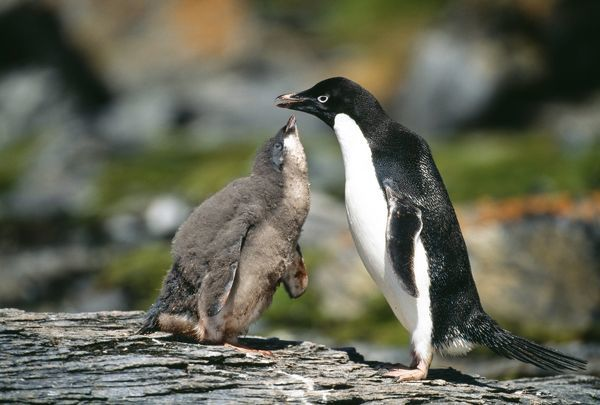Adelie Penguin, Pygoscelis adeliae, chick begging for food from parent, Antarctic Peninsula, January