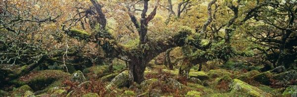Ancient Sessile Oaks in Wistmans Wood, Dartmoor