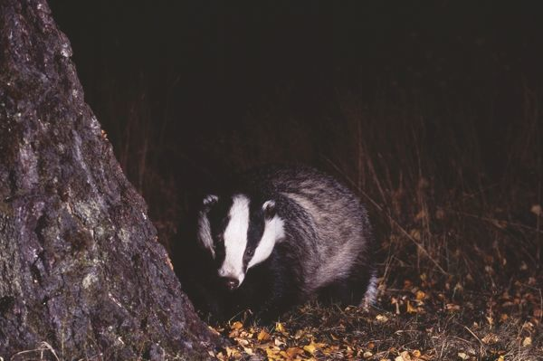 Badger, Meles meles, Scotland, October, young female