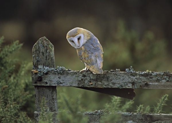 Barn Owl Tyto alba in late afternoon UK winter