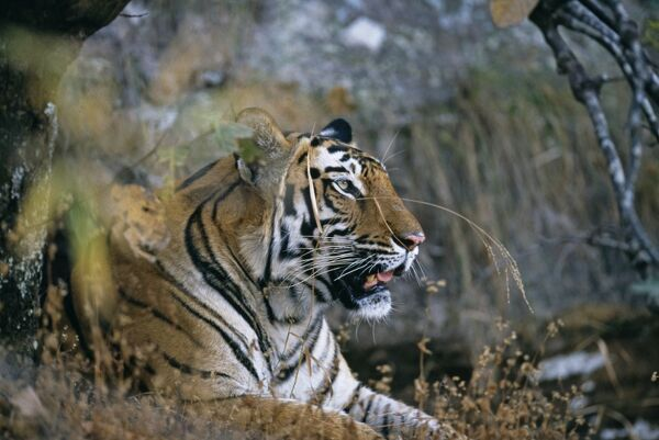 Bengal Tiger, Panthera tigris, female, Bandavgarh National Park, India