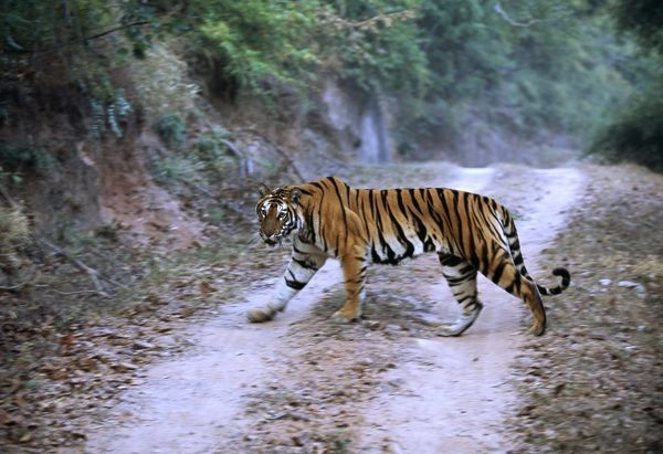 Bengal Tiger, Panthera tigris, female crossing track, in Bandavgarh National Park, India