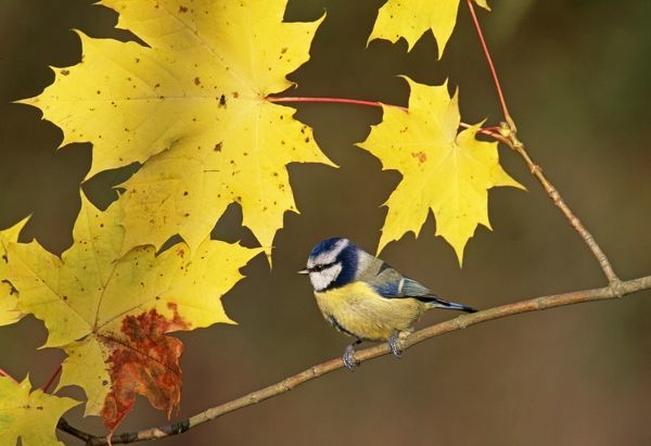Blue Tit, Parus caeruleus, among autumn leaves, UK, November