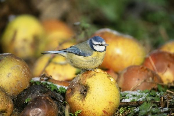 Blue Tit, Parus, caeruleus, Kent, UK, October