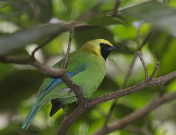 Blue-winged Leafbird (Chloropsis cochinchinensis) India