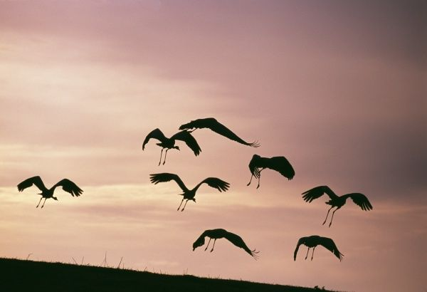 Common Cranes, Grus grus flying to roost, Hornsborga, Sweden, spring