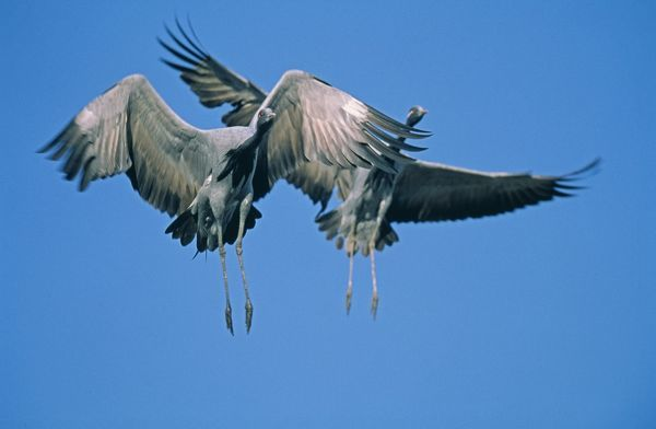 Demoiselle Cranes, Anthropoides virgo, pair coming into land, Khichan, India, November