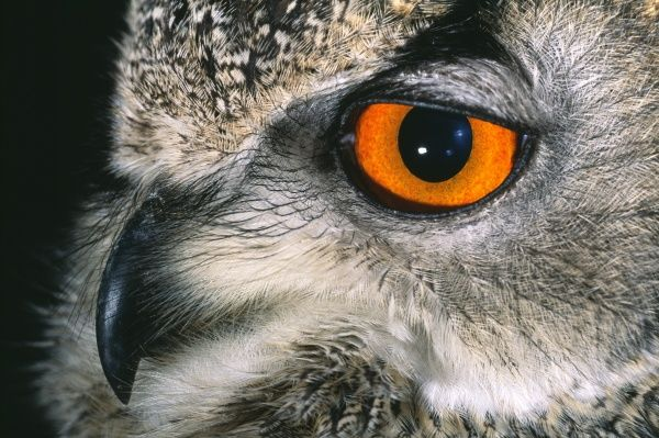 Eagle Owl, Bubo bubo, close up of eye