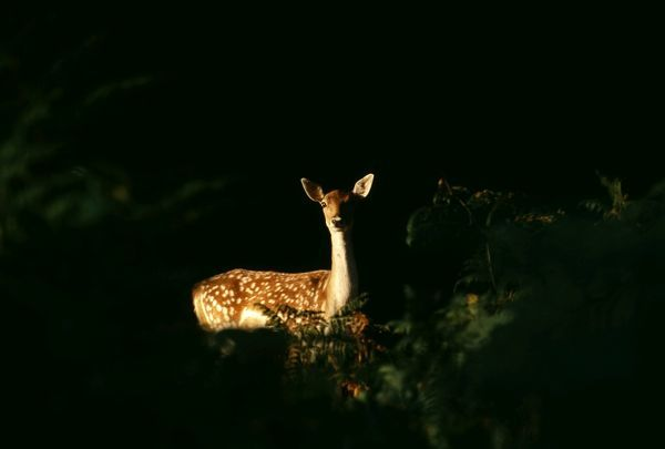 Fallow Deer, Dama dama, doe peering from forest clearing, autumn, New Forest, Hampshire