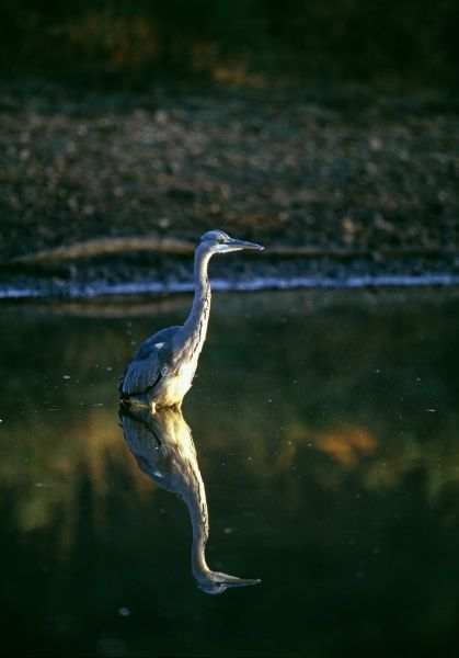 Grey Heron, Ardea cinerea, hunting in shallow pond, UK, autumn
