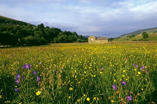 Hay Meadow, Yorkshire Dales with Buttercups, Bloody cranes-bill, and Wood Sorrel, summer