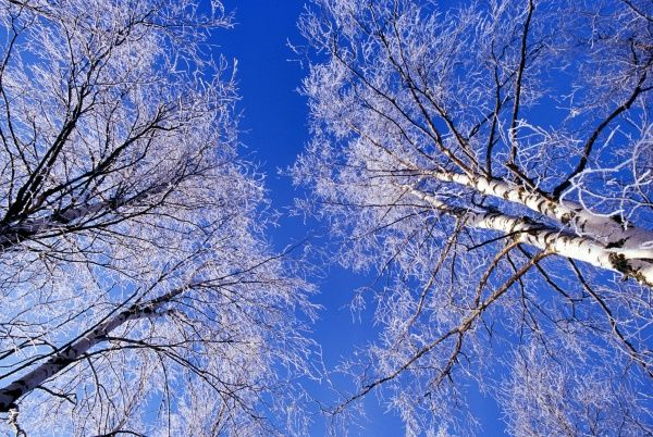 Hoar frost on birch trees, Strathspey, Scotland, winter