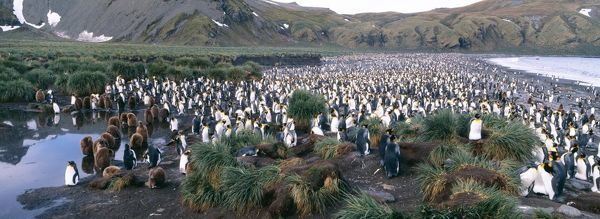 King Penguins, Aptenodytes patagonicus, colony at Gold Harbour, South Georgia, January