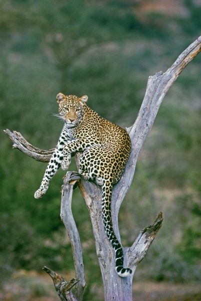 Leopard, resting in tree, Samburu, Kenya