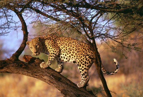 Leopard, S.Africa