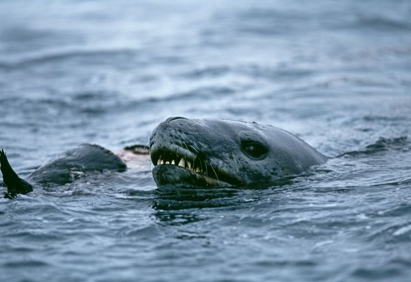 Leopard Seal, Hydruga leptonyx, feeding on Adelie Penguin, Paulet Island, Weddell Sea