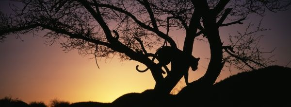 Leopard in tree at dusk, S.Africa