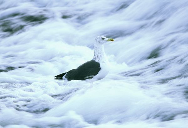 Lesser Black-backed Gull, Larus fuscus, in winter plumage, feeding on weir, Dumfries, Scotland, winter