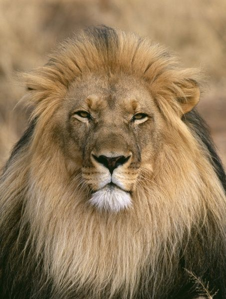Lion, Panthera leo, male, S.Africa