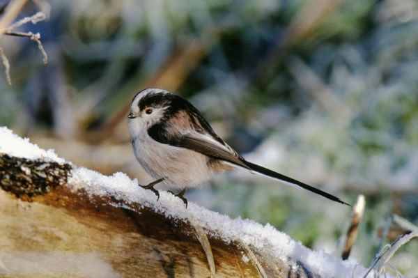 Long-tailed Tit, Aegithalos caudata, in winter, UK