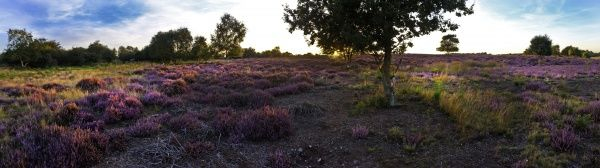 Lowland heath on Minsmere RSPB Reserve within the Suffolk Sandlings Suffolk in august