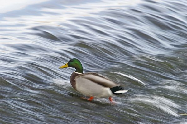 Mallard Anas platyrhynchos male Dumfries Scotland winter
