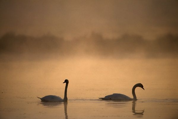 Mute Swan, Cygnus olor, UK, autumn