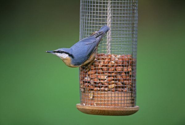Nuthatch, Sitta europea, on garden nutfeeder, Kent, UK, winter