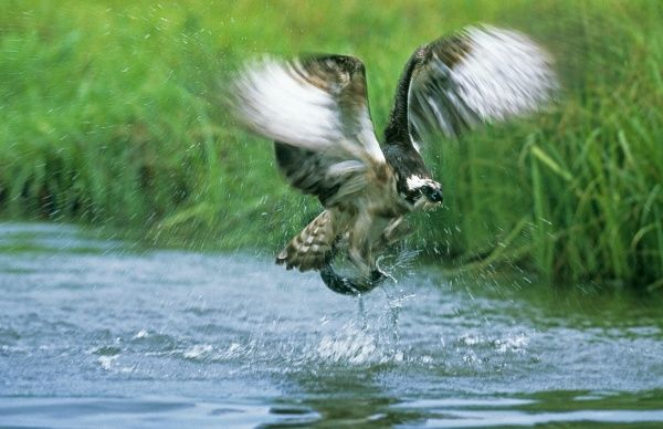 Osprey, Pandion haliaeetus, exploding out of water with a trout, Finland, summer