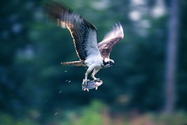 Osprey, Pandion haliaeetus, with a trout, Speyside, Scotland, summer