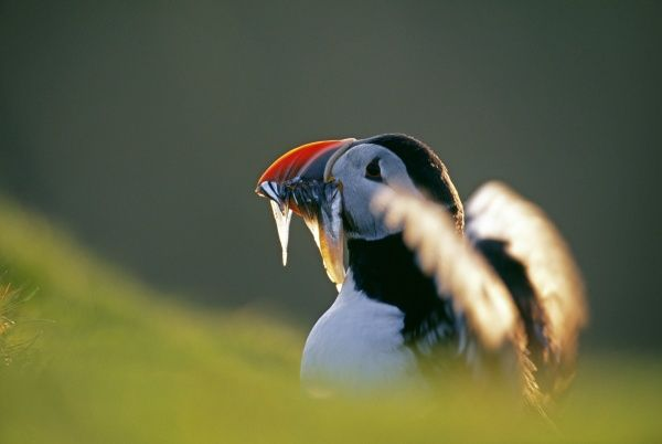 Puffin, Fratercula arctica, with beakful of sandeels, Shetland, Scotland, June