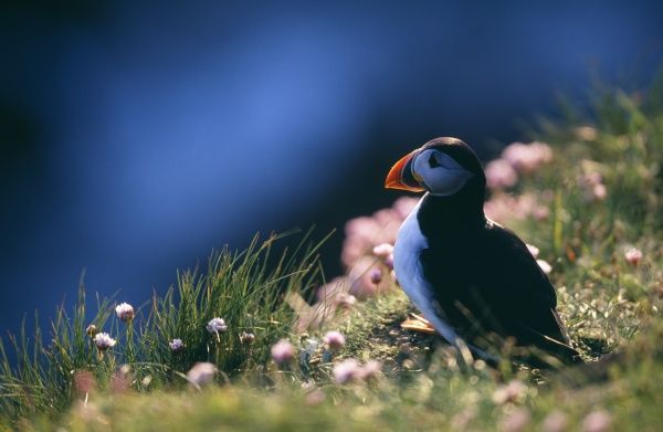 Puffin, Fratercula artctica, on cliff top, Hermaness, Shetland, June