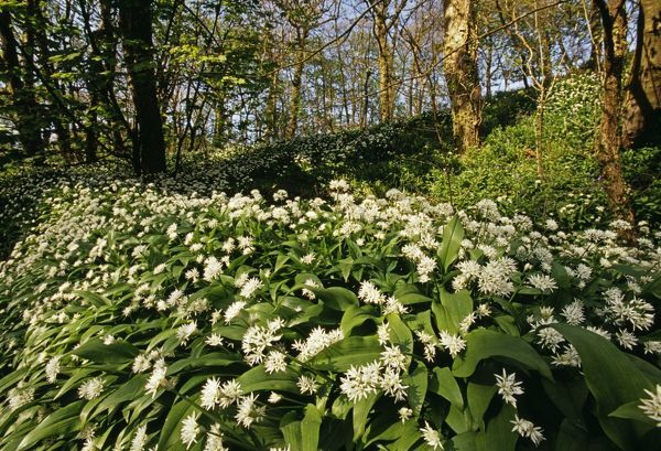 Ramsons (Wild Garlic), Stackpole Woods, Pembrokeshire, Wales, spring