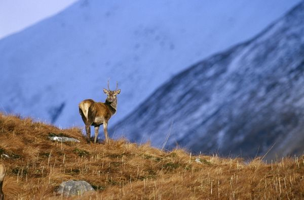 Red Deer, Cervus elaphus, stag, Scottish Highlands, winter