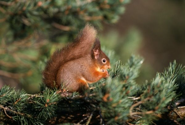 Red Squirrel, Speyside, Scotland, winter