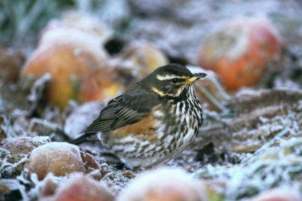 Redwing, Turdus iliacus, feeding on apples in garden on frosty morning, Kent, UK