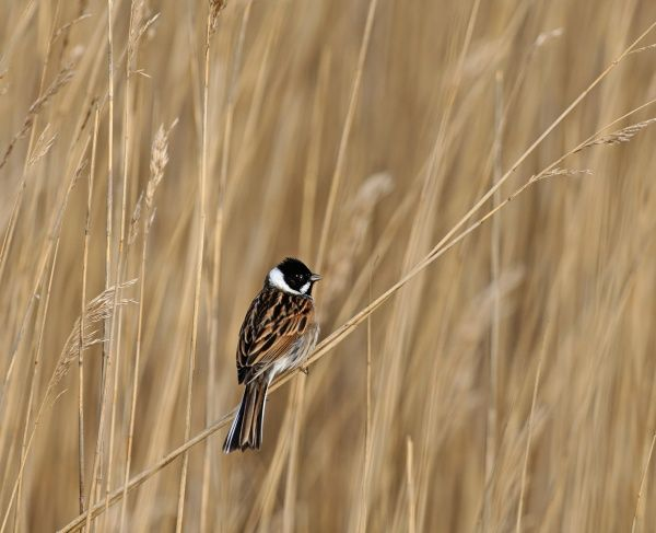 Reed Bunting Emberiza Pallasi Male In Reeds Northumberland 5182120