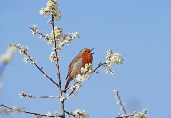 Robin, Erithacus rubecula, in song in blooming Blackthorn bush, UK