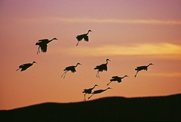 Sandhill Cranes, Grus canadensis, arriving at roosting pond at dusk, Bosque Del Apache, New Mexico, USA, November