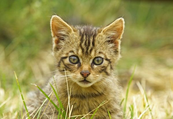 Scottish Wildcat Felis silvestris kitten captive