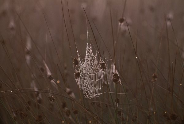 Spiders web covered in dew in early morning, Kent, UK, autumn
