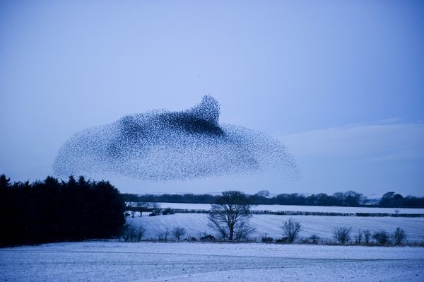 Starlings Sturnus vulgarus arriving at night time roost near Gretna Scotland December