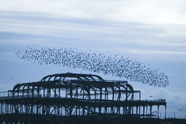 Starlings Sturnus vulgarus arriving to roost on West Pier Brighton Sussex December