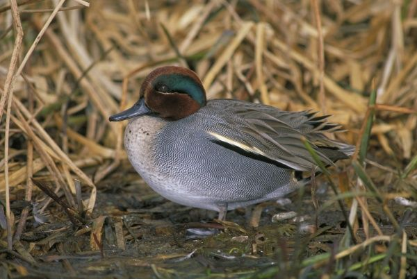 Teal, Anas crecca, male, Norfolk, winter